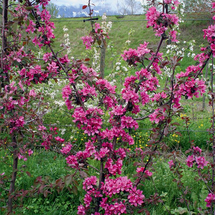 Redlove Odysso Red Fleshed Apple Growing Tree Fruit Trees Pink Fruit