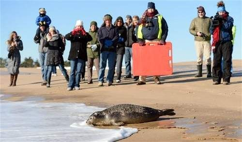 Mystic Aquarium releases rescued seal pup on RI beach - A harbor seal pup rescued in Maine last summer has been released back into the ocean on a beach in Rhode Island. Read more: http://www.norwichbulletin.com/article/20140124/NEWS/140129700/10283/NEWS #CT #RI #Mystic #Connecticut #Aquarium #Seal #Pup #Animals
