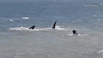 "Share this ""Dog vs Shark"" animated gif image with everyone. Gif4Share is best source of Funny GIFs, Cats GIFs, Dog GIFs to Share on social networks and chat."