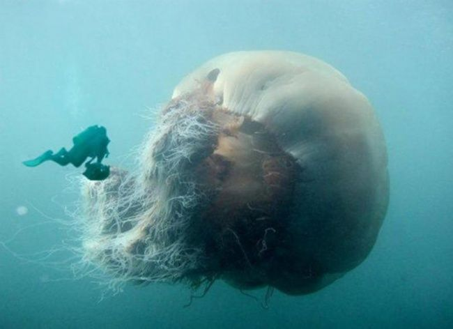 Imagine how much its sting would hurt!--15photos which will make you think twice about going swimming