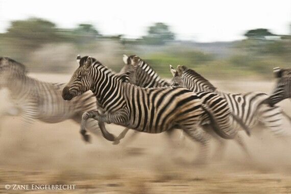 Zebra running during one of my safaris in South Africa
