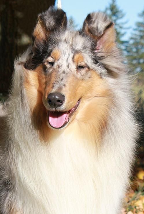 CORNERSTONE ROUGH COLLIES, BREEDER ROUGH COLLIES IN CANADA AND USA, WORLD CLASS CHAMPION ROUGH COLLIES est 1981. ROUGH COLLIE PUPPIES IN 2014. SABLE, TRI, AND BLUE MERLE