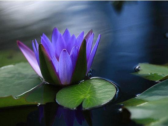 Water Lotus Flower