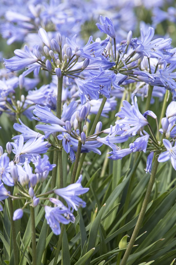 112 best agapanthus images on pinterest flowers plants and gardens baby pete lily of the nile is a unique compact variety that blooms weeks earlier than others masses of blue flowers just above clusters of short dhlflorist Images