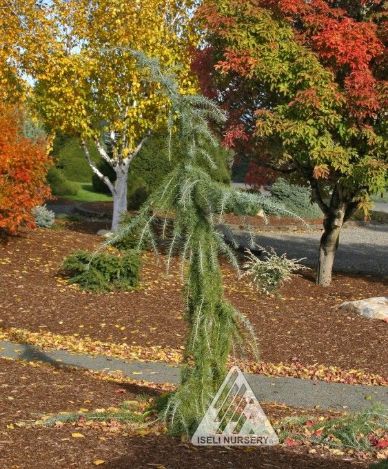 17 best images about evergreen trees on pinterest trees for Small slow growing evergreen trees