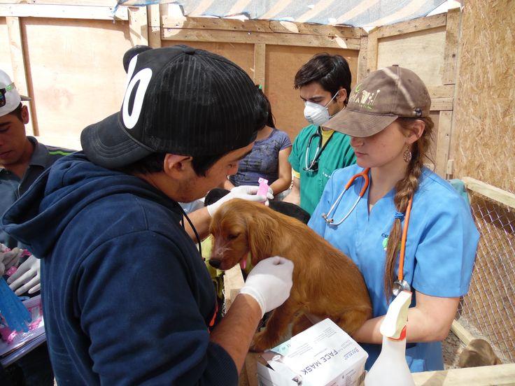 Voluntarios UMayor apoyan a Copiapó #Veterinaria #Callejeros #UMayor