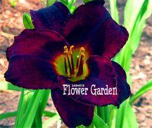 Grande Vente! 100 Pièces/sac Noir Fleurs D'hémérocalles Semences, en pot bonsaï pour le jardin(China (Mainland))