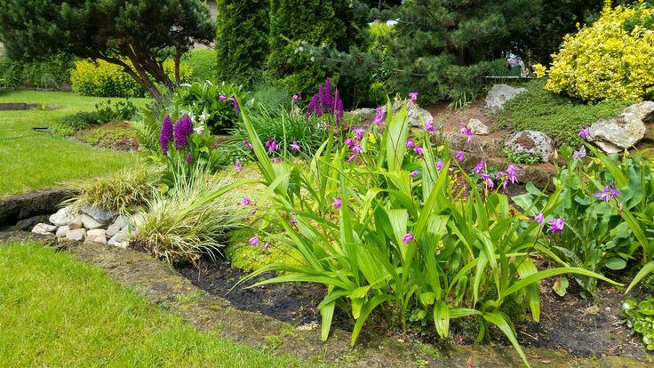 Combine your fresh green lawn with the bright Bletille of Garden Orchid.