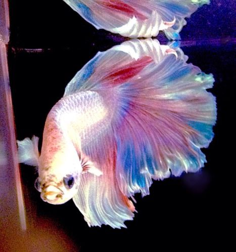 Feather tail halfmoon platinum white betta fish w rainbow for Fish and tails