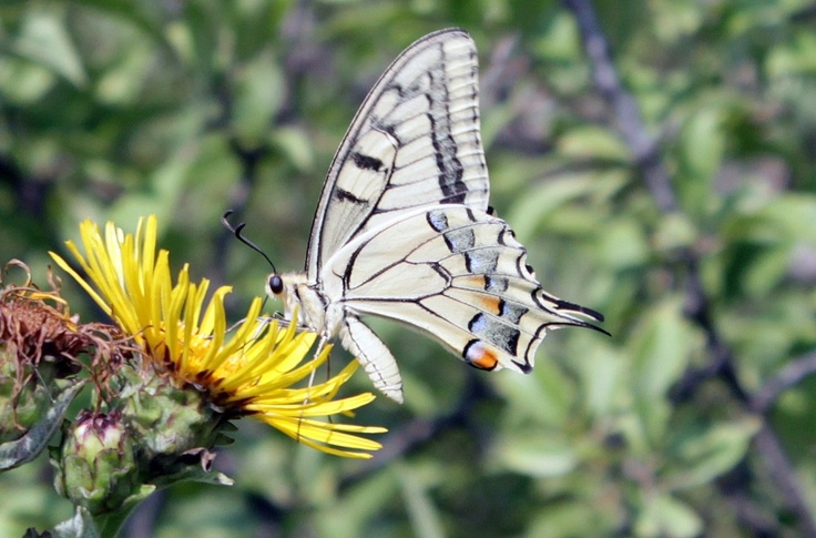 Yellow Swallowtail Butterfly (Papilio machaon) - Public Domain Photos, Free Images for Commercial Use