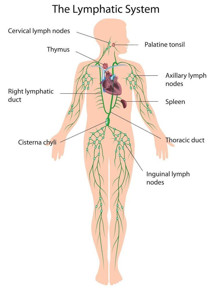 Female Lymphatic System Diagram Female Lymphatic System