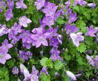 Campanula poscharskyana (klokjesbloem) - bodembedekker voor zon of schaduw groenblijvend kleine blaadjes ideaal voor bodembedekking in de rotstuin paarsblauwe bloemen vanaf juni tot september hoogte: 15 cm 10 planten /m²