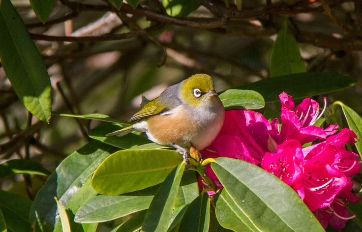 Silvereye on the Rhododendron