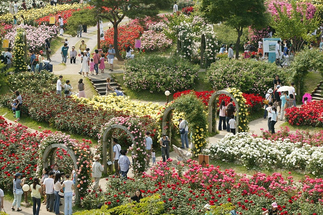 The Rose Garden at Seoul Land was created around the lake of Seoul Grand Park. The Rose Festival is held here every year from July to August.  To get there:  Go through Exit 2 of Seoul Grand Park Station (Seoul Subway Line 4).  For more information, visit the Seoul Land website:  http://eng.seoulland.co.kr/eng/general/general05_01.html