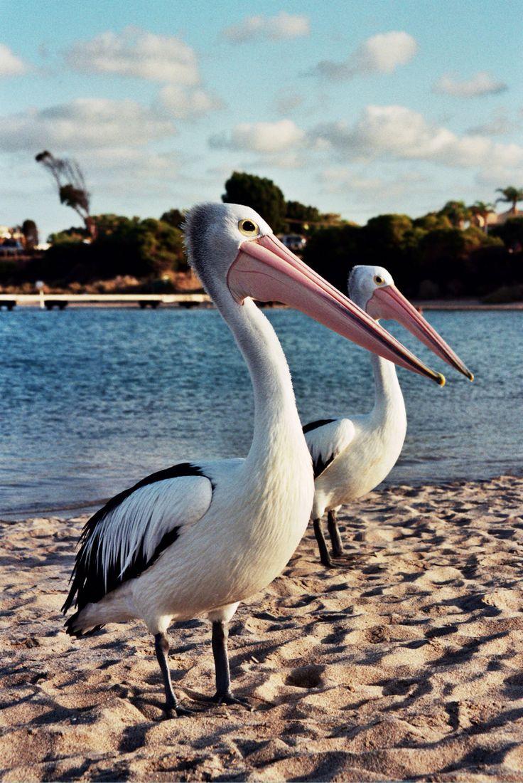 Kalbarri Western Australia Where the pelicans love to come and play xxx
