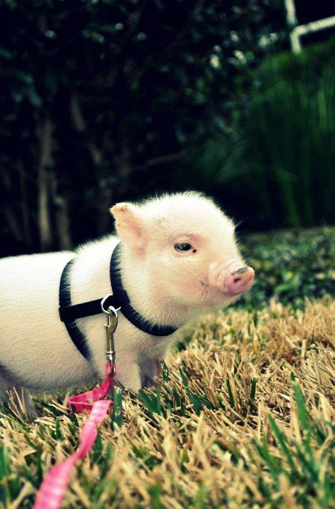 Best 25 teacup potbelly pig ideas on pinterest teacup - Pot belly pigs as indoor pets ...