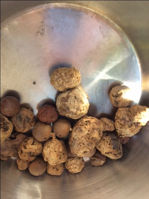 These are oak galls used for tannin.