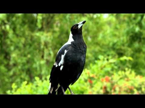 Australian magpie singing -This is the true sound of the Australian bush - magpies can be found (heard) in every part of Australia. Magpies are a protected species.