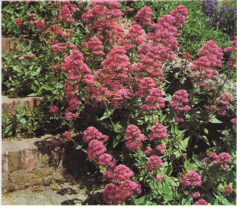 Sporebaldrian - juni-sept. - Centranthus ruber