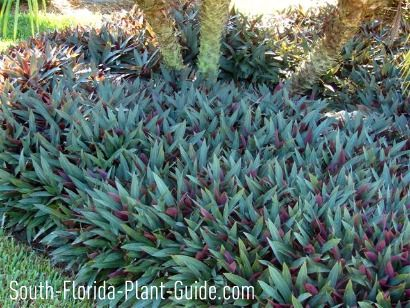dwarf oyster plant under a triple pygmy date palm: plant under large tree. Pretty Purple leaves with green