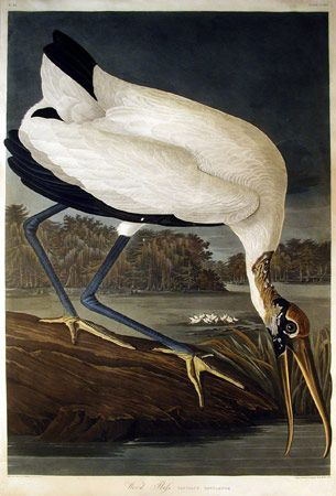 Wood Ibis (plate CCXVI) by John James Audubon from Birds of America, London, 1827-38. Hand-coloured aquatint, etching and line engraving
