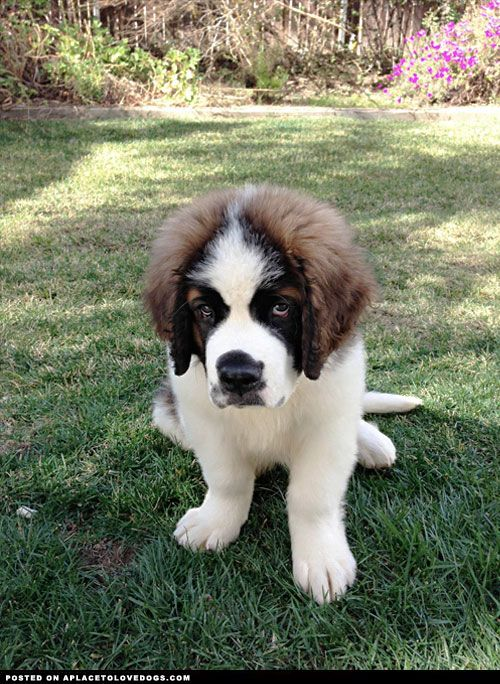 Dogs that look like saint bernards 10
