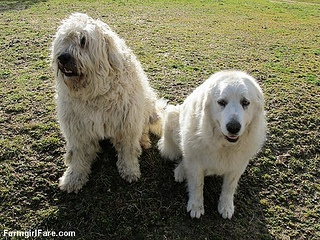 Marta Beast and Daisy, our awesome livestock guardian dog duo - from Farmgirl Fare