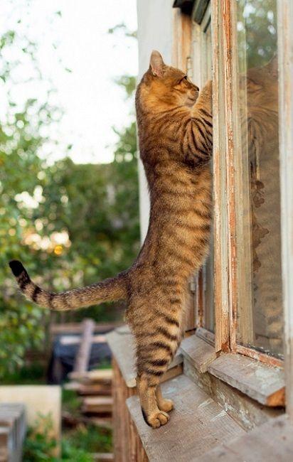 Gato mirando por la ventana. ¿Quién está en casa? ¡Qué curiosos son los gat@s!