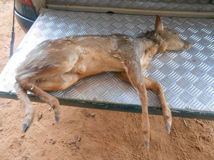 Animal morreu após ser ferido por cães de caça numa propriedade rural na localidade de Carvorite