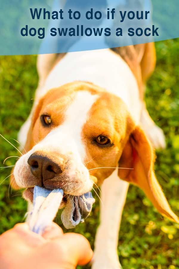 My Dog Ate A Sock What Should I Do Dogs Dog Care Dog Throwing Up