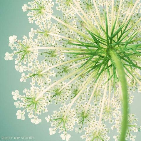 Queen Anne's Lace Flower Photo by Allison Trentelman - rockytopstudio.com