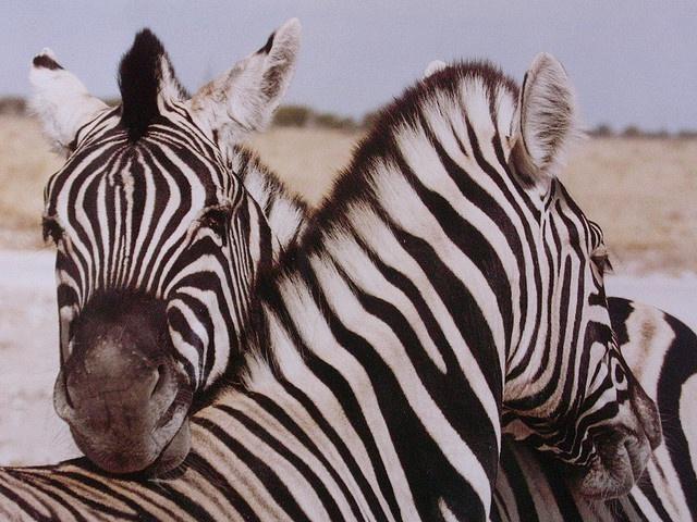 Namibia: Namibia S Beauty, Buffalo Zebra, Animals, Schmusende Zebras, Stripes, Amazing Photos