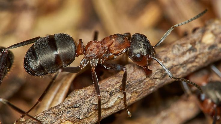 wood ant, Formica rufa, worker | by David_W_1971