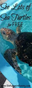 This free thing to do in Florida makes for a fun family activity. Sea turtles in Juno Beach, Florida. North of Miami by about an hour and a half.