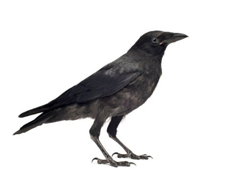 Caw vs. Kraa: meaning in the calls of crows and ravens  This short video, by the Cornell Lab of O, discusses the differences between and potential meanings of the sounds made by crows and ravens.