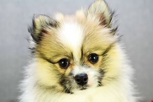 Pomeranian puppies for sale | Teacup breed Pom puppies for sale in Ohio