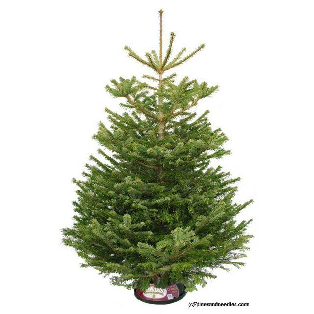 have to have a 6-7ft real xmas tree - The Nordman Fir (Abies nordmanniana) has flattened needles which are a glossy dark green on top with two blue-white bands of stomata below giving the Nordman Fir its signature two-tone depth, like that of the olive tree. This variety is the preferred choice by modern Britons as the needles are not pointy and the tree benefits from its ability to retain its needles even in very dry conditions.