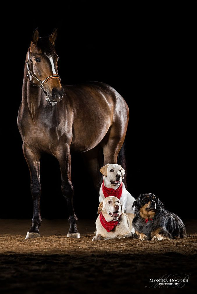 horses in the studio in front of black background dogs
