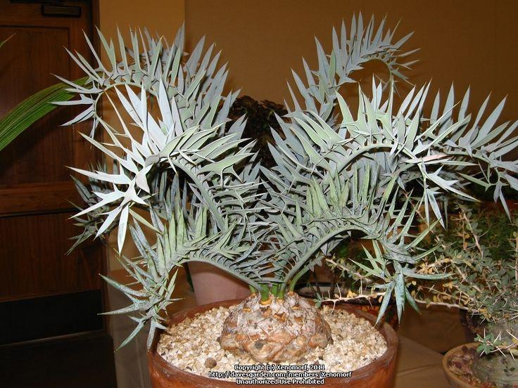 E.horridus