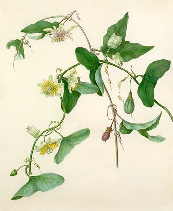 Margaret Meen -- Passiflora misera -- Passion flower -- View By Flower -- RHS Prints
