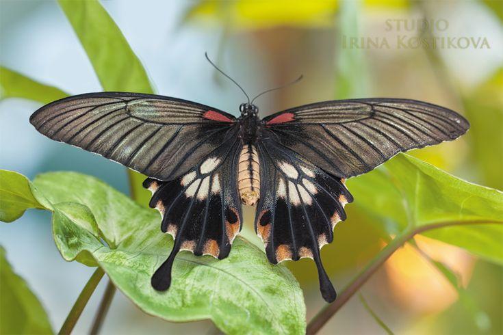 """Семейство Papilionidae (Парусники, или Кавалеры) - типичные булавоусые, или дневные бабочки. От других представителей этой группы чешуекрылых их легко отличить по характерному признаку: внутренний край задних крыльев вырезан и не прилегает к брюшку. Кроме того, у преобладающего большинства видов задние крылья вытянуты в длинные """"хвостики"""", что придает особую изящность общему контуру крыльев. Передние конечности развиты нормально."""