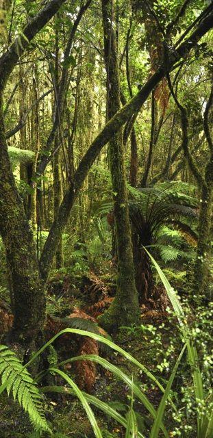 "West Coast ""bush"" - NZ"