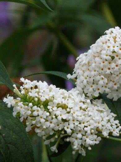 Jun-okt - Vlinderstruik Buddleja davidii 'White Bouquet'