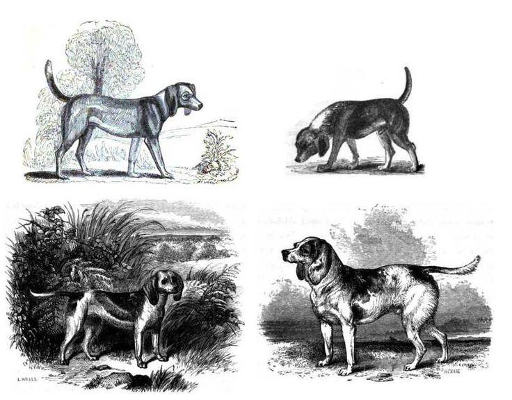 mágenes de antiguos beagle. De izquierda a derecha y de arriba a abajo: 1833, 1835, el medium de «Stonehenge» (1859, reutilizando la imagen de Youtt «Beagle», de 1852) y beagle enano (1859).