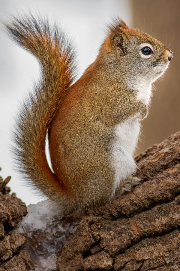 American red squirrels are of the order rodenta and are also referred to as pine squirrels, North American red squirrels, and chickarees. They are medium-sized diurnal mammals that defend a year-round exclusive territory. The diet of these tree squirrels is specialized on the seeds of conifer cones.