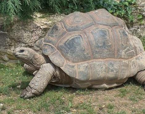 The Aldabra Giant Tortoise is native to the Aldabra Islands in the Indian ocean. - photo by Yotcmdr, via a-z-animals;  They are primarily found inhabiting grasslands and swamps on the islands of the Aldabra Atoll, part of the Seychelles island chain. They can be found individually as well as in herds. They are considered vulnerable to extinction.