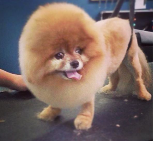 Chelsea the Pomeranian sporting a Modified Lion Cut done ...