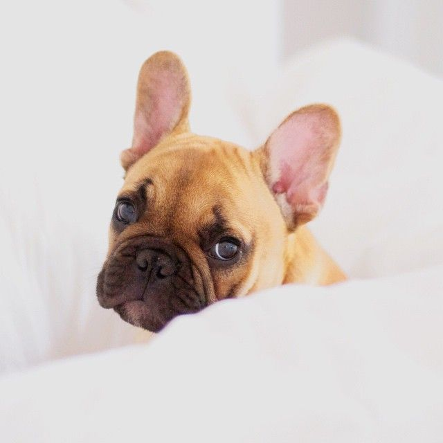 cute frenchie, French Bulldog Puppy❤️