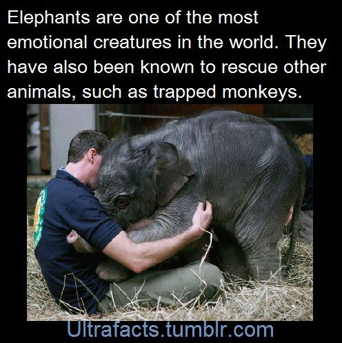 imdemetrialynn:  peace-love-rough-sex:  gleaux:  ultrafacts:  1017sosa300:  ultrafacts:   Sources: 1 2 3 4 5 6 7 8 9 10   Follow Ultrafacts for more facts   baby elephants are so CUTE  Adding more elephant facts to the compilation! Sources: [1] [2] [3] [4]  I love elephants so much   As if I needed more reasons to love elephants   elephants have my heart