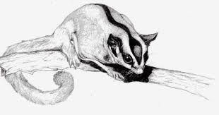 sugar glider pencil drawings - Google Search